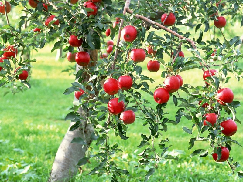 Apple-Tree Full Branches 528.71 Kb