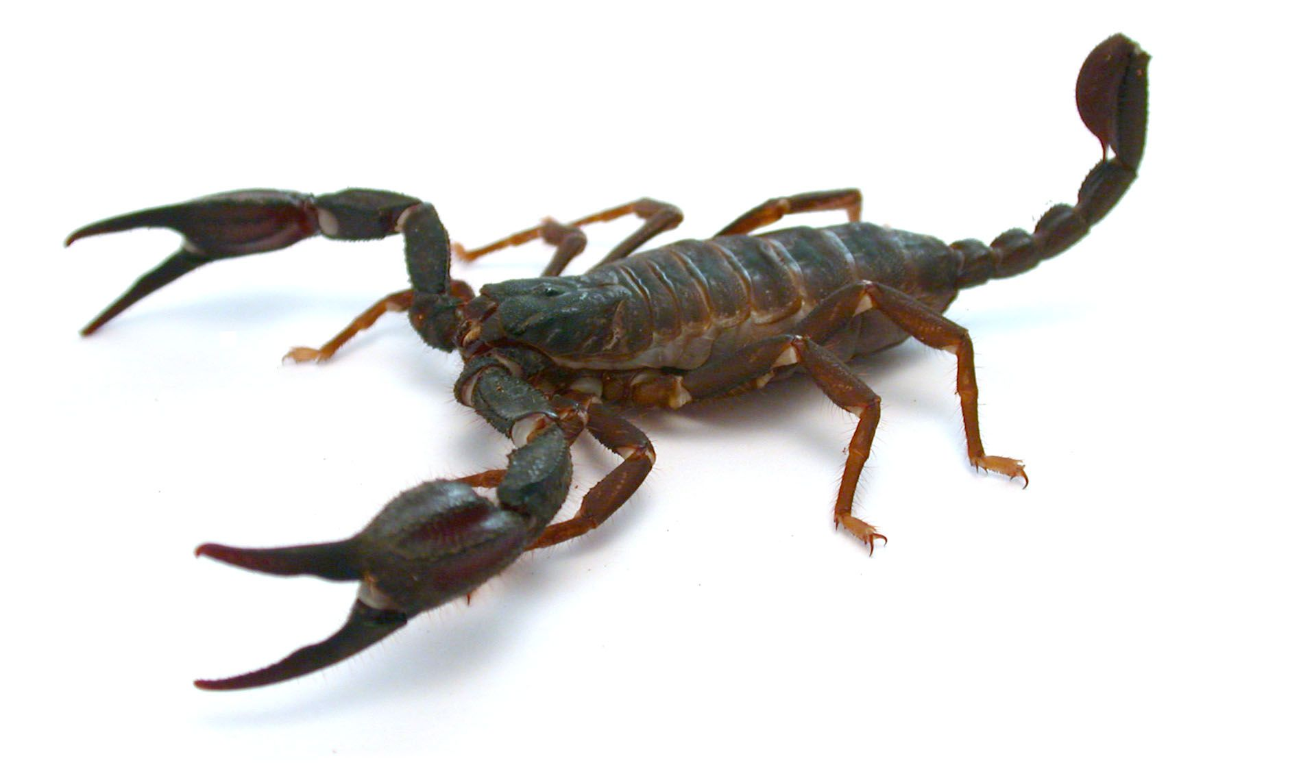 Dangerous Scorpion Image