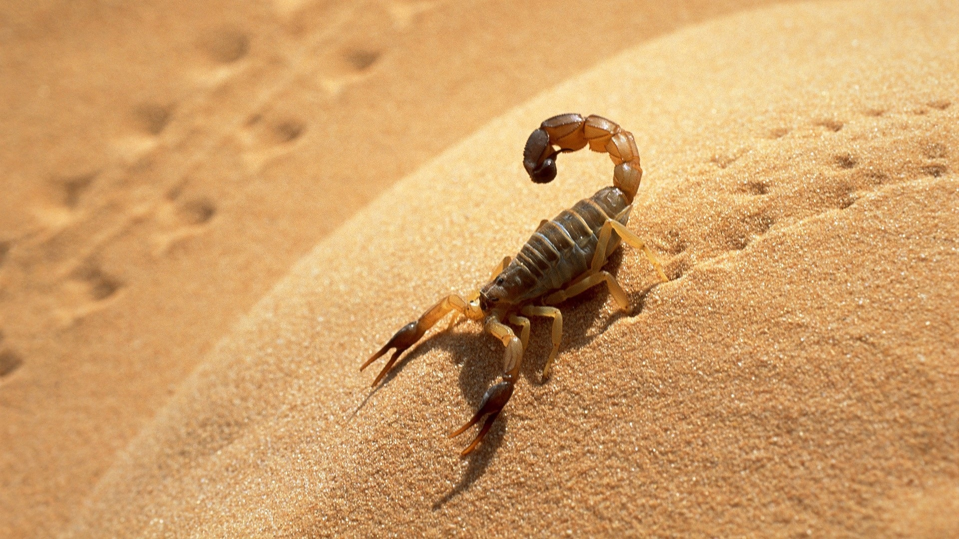 Scorpion Traces on Sand 108.66 Kb