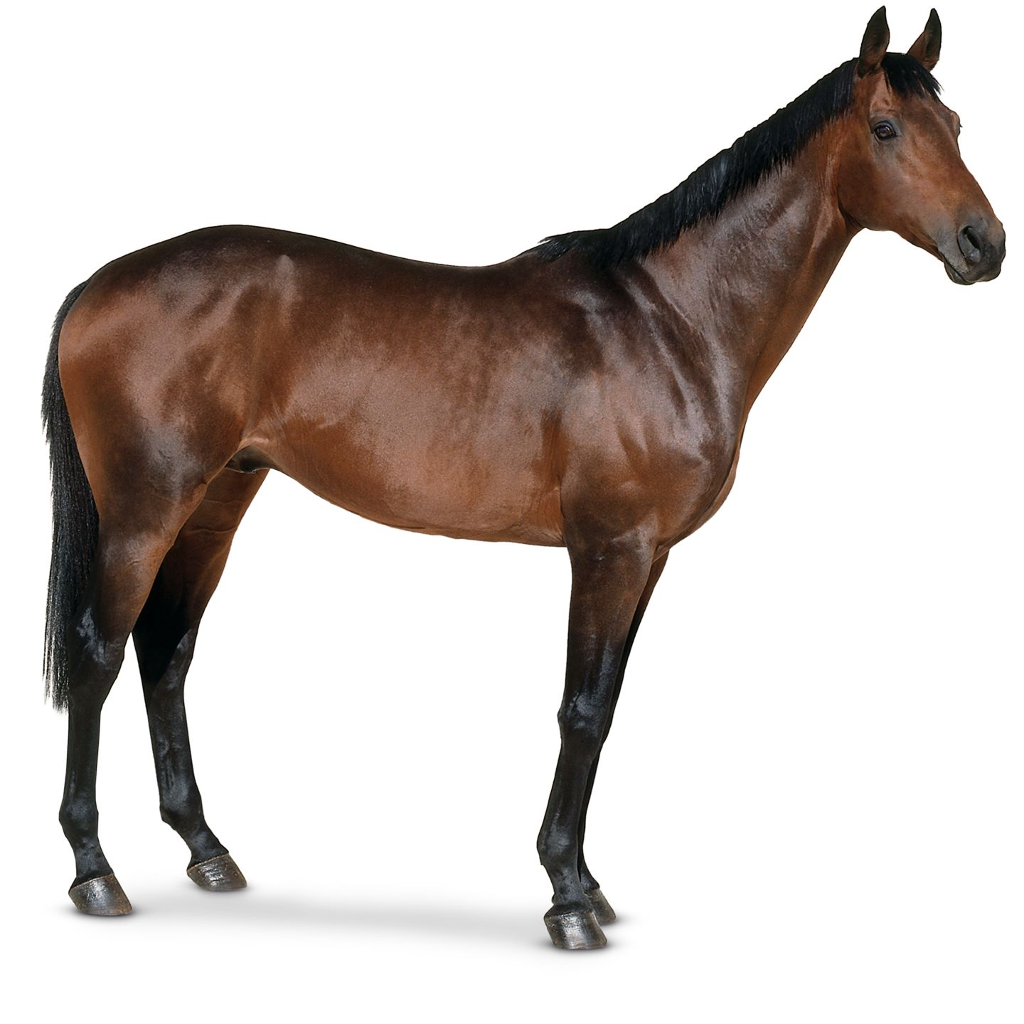 Brown Horse Type 392.28 Kb