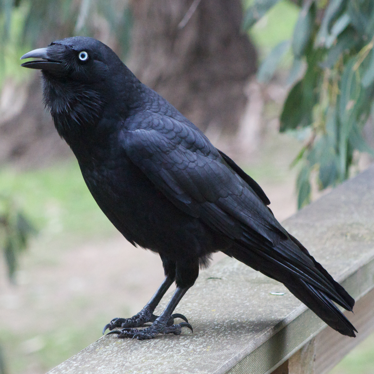 Black Raven on a Porch 111.19 Kb