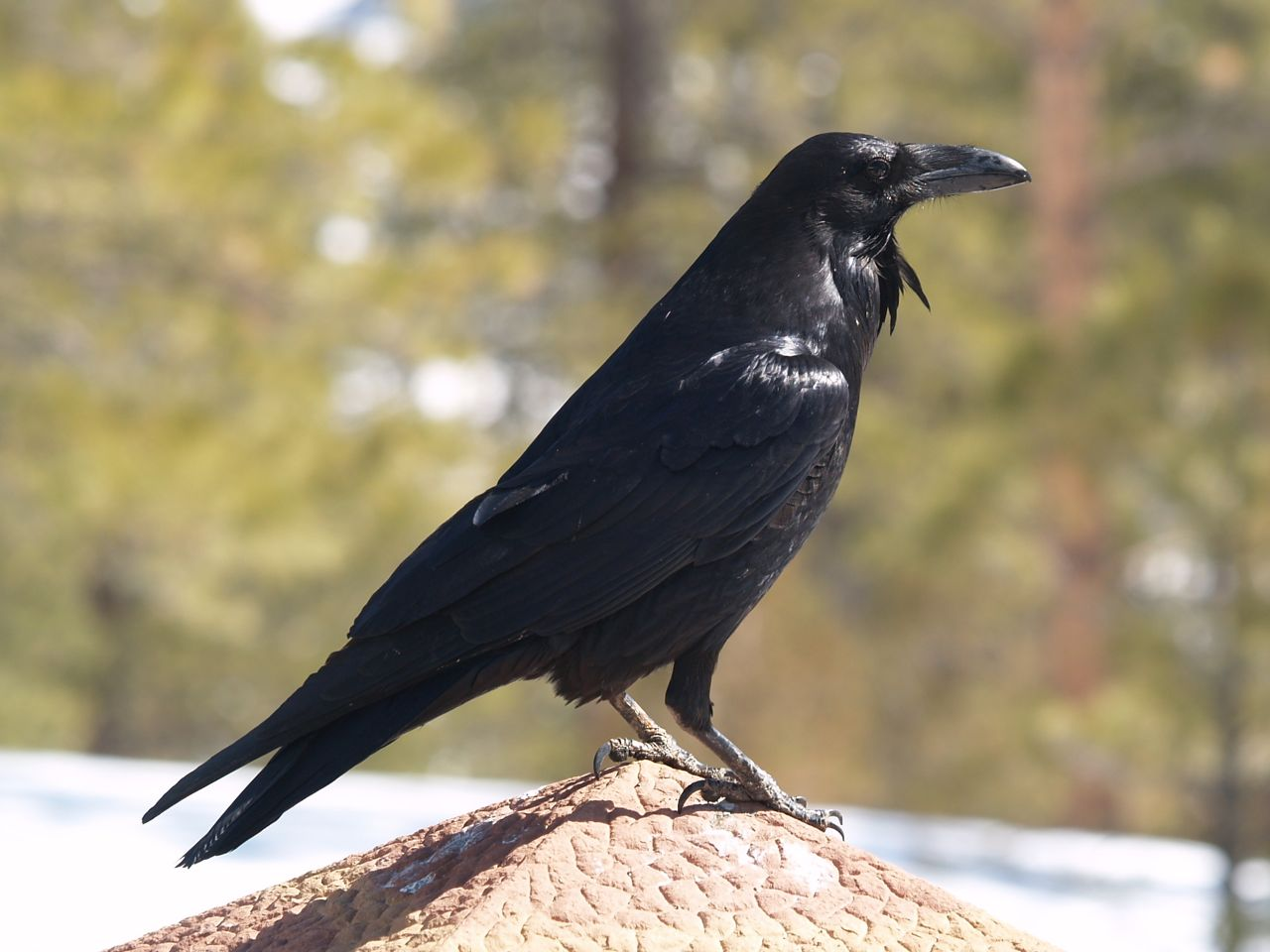 Black Raven on the Roof