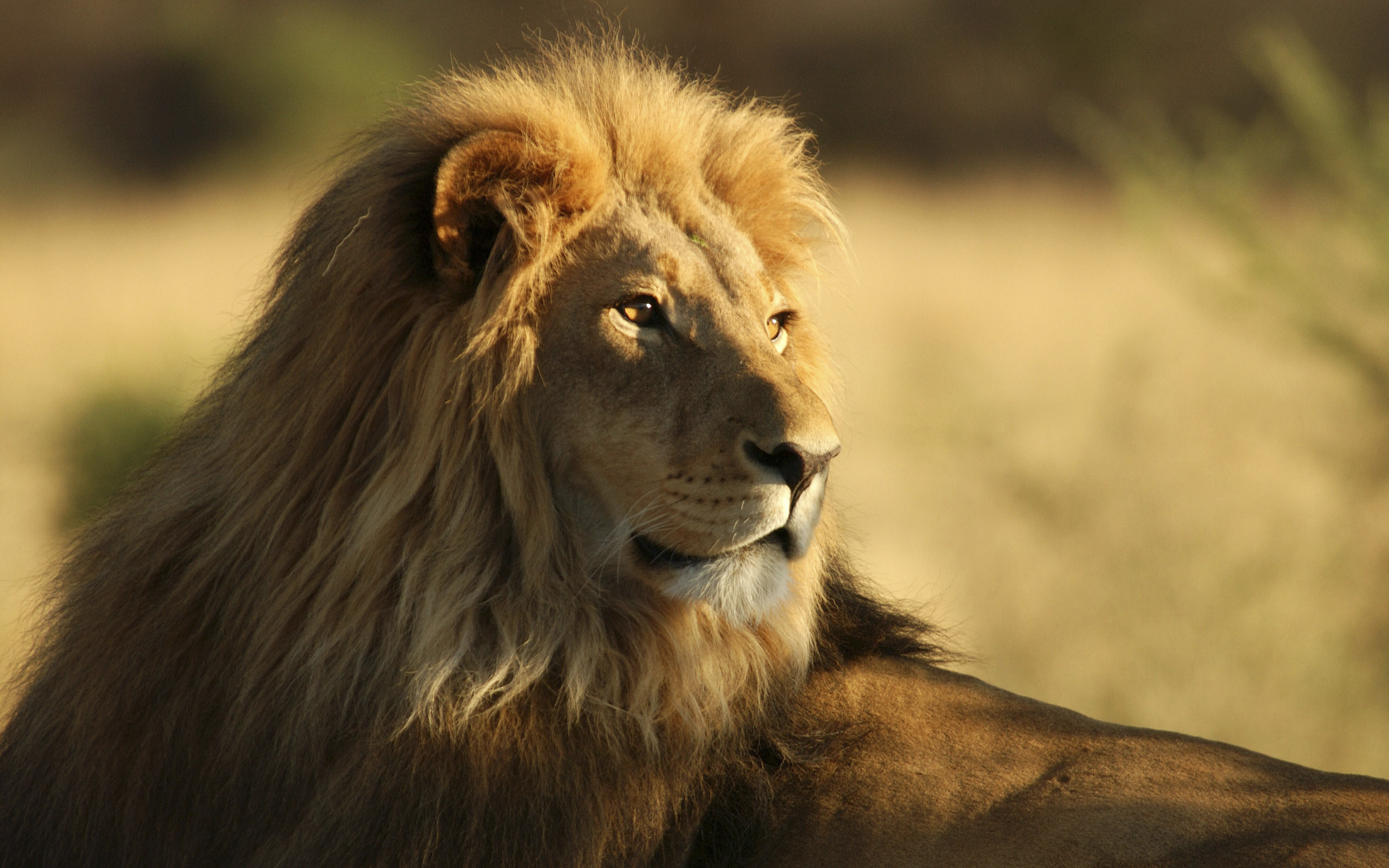 The Male African Lion 986.55 Kb