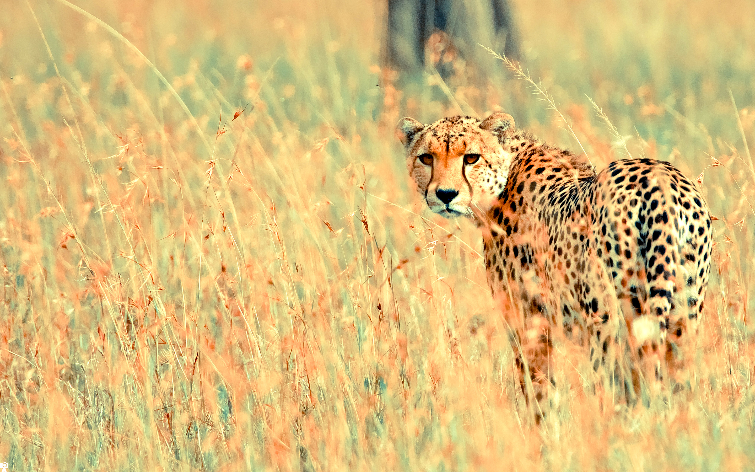 Beautiful Cheetah #4156289, 2880x1800