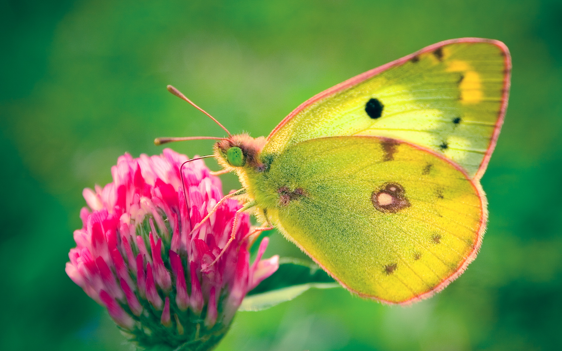 Colias hyale Butterfly