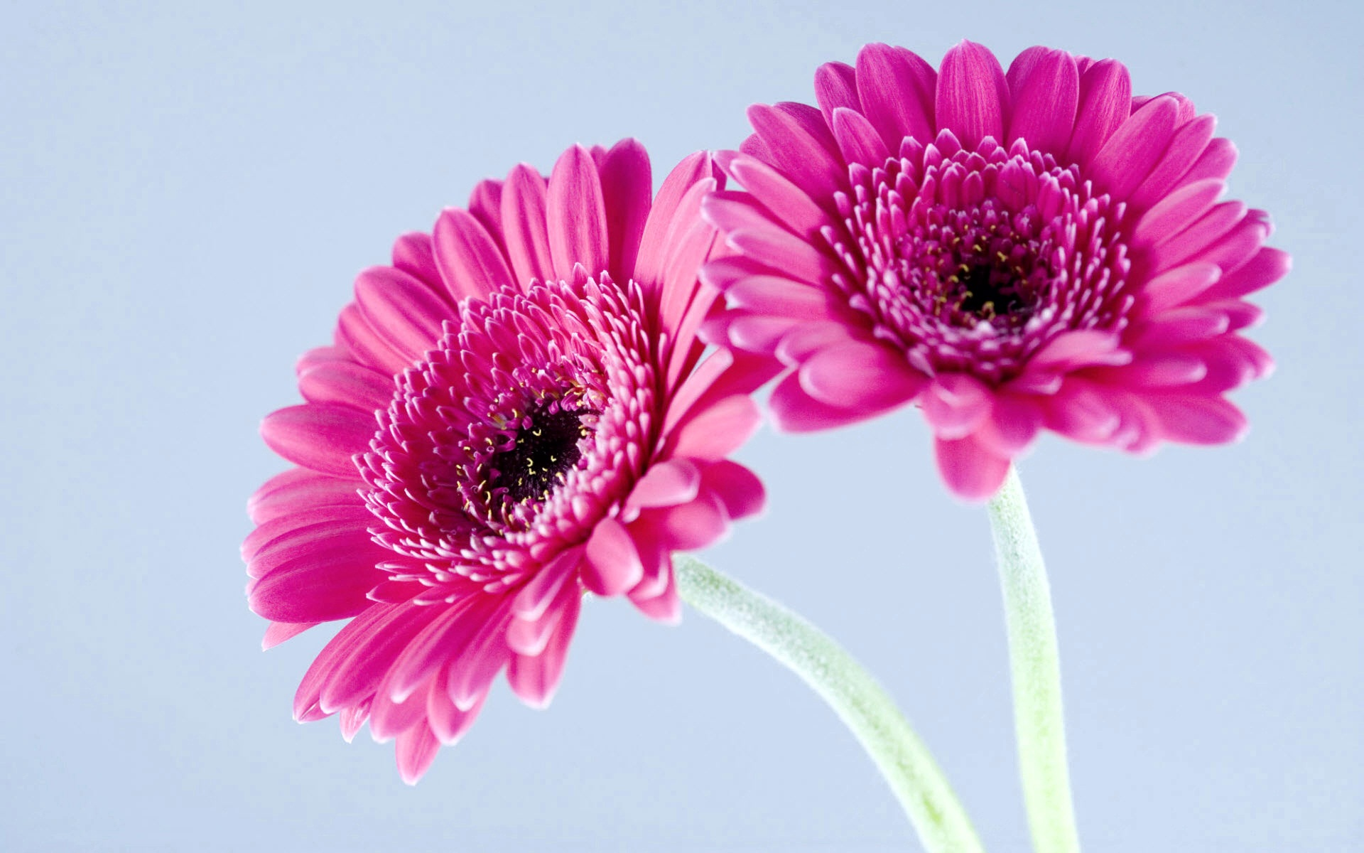 Purple Gerbera Daisies 132.63 Kb