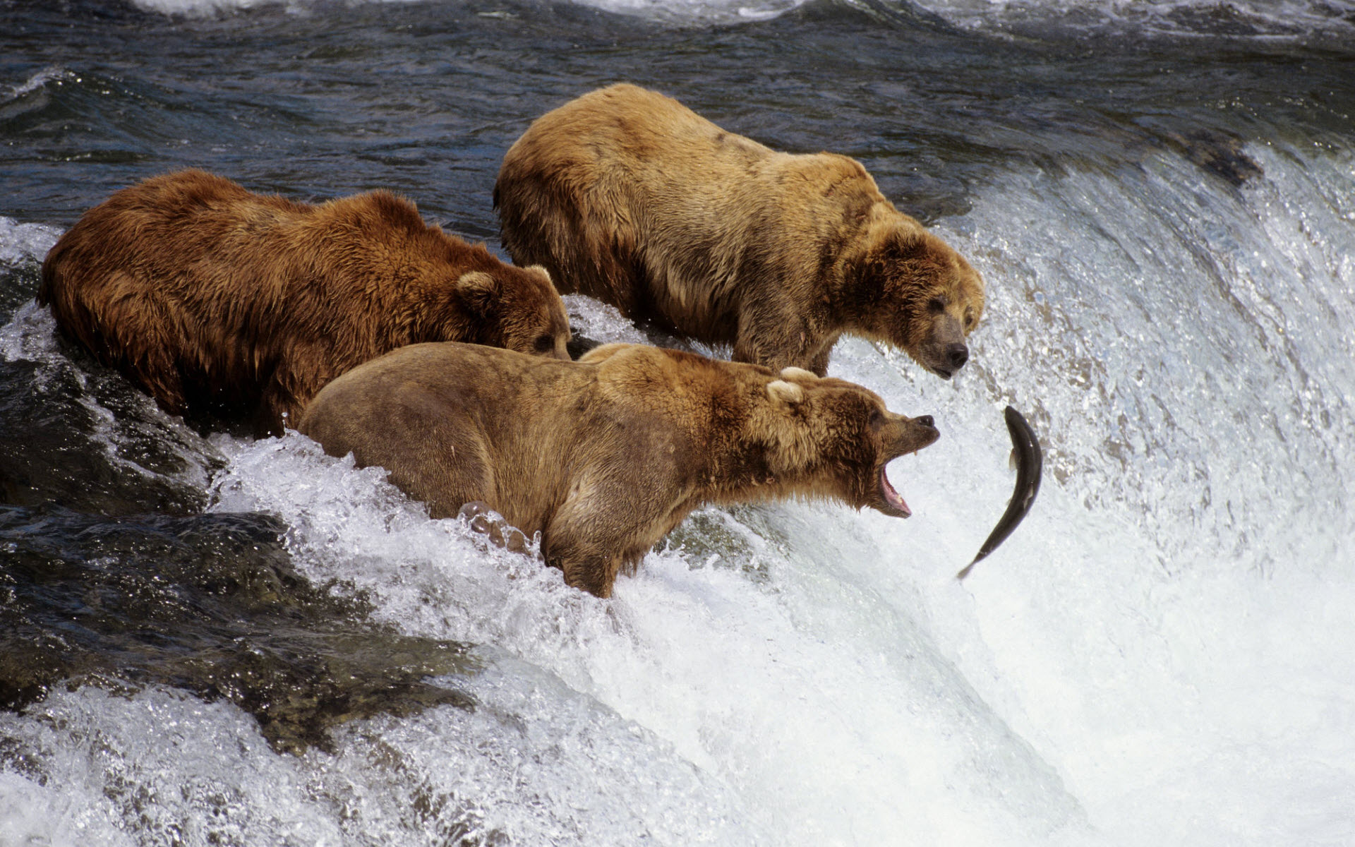 Brown Bears Alaska 258.58 Kb