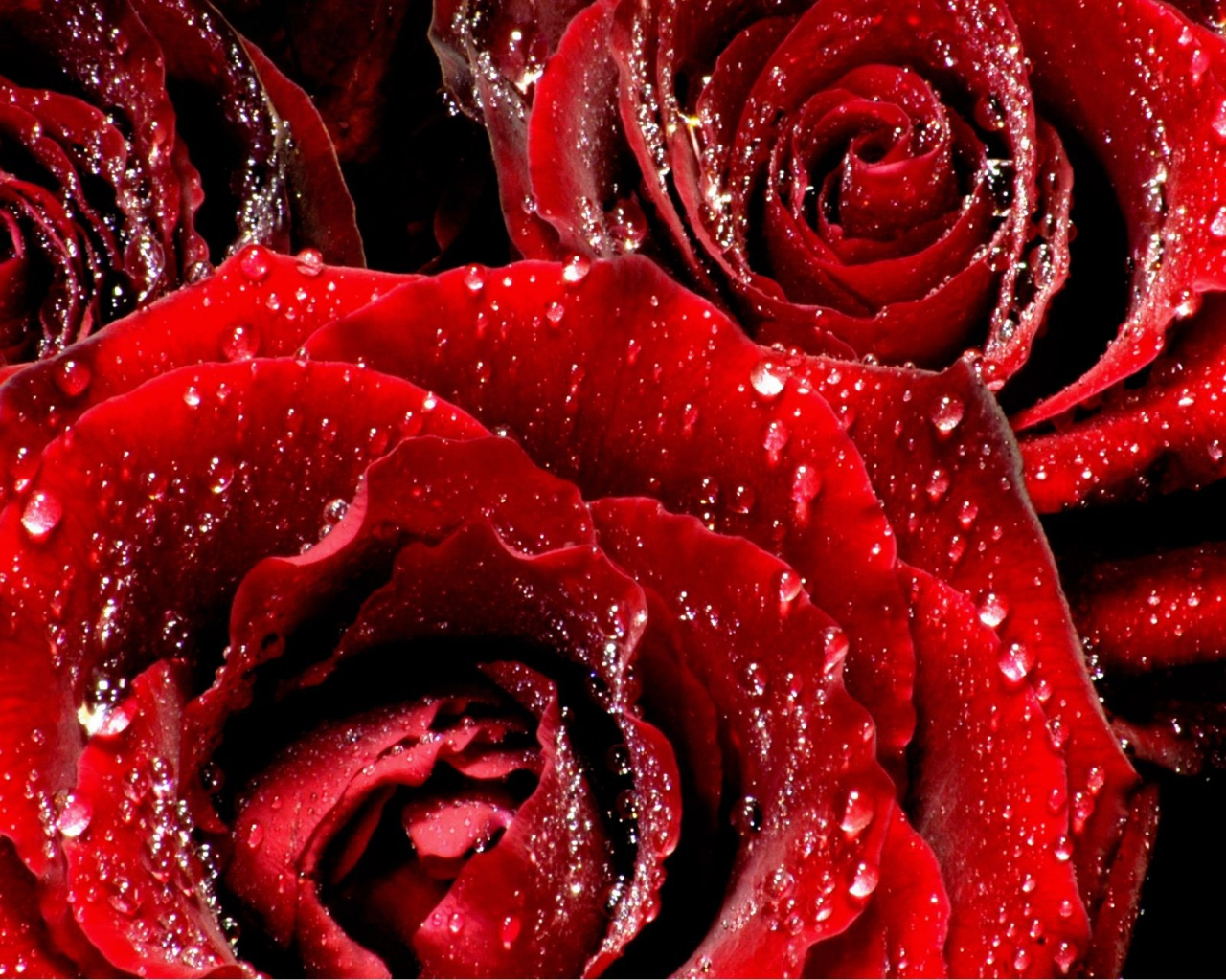 Red Roses 6