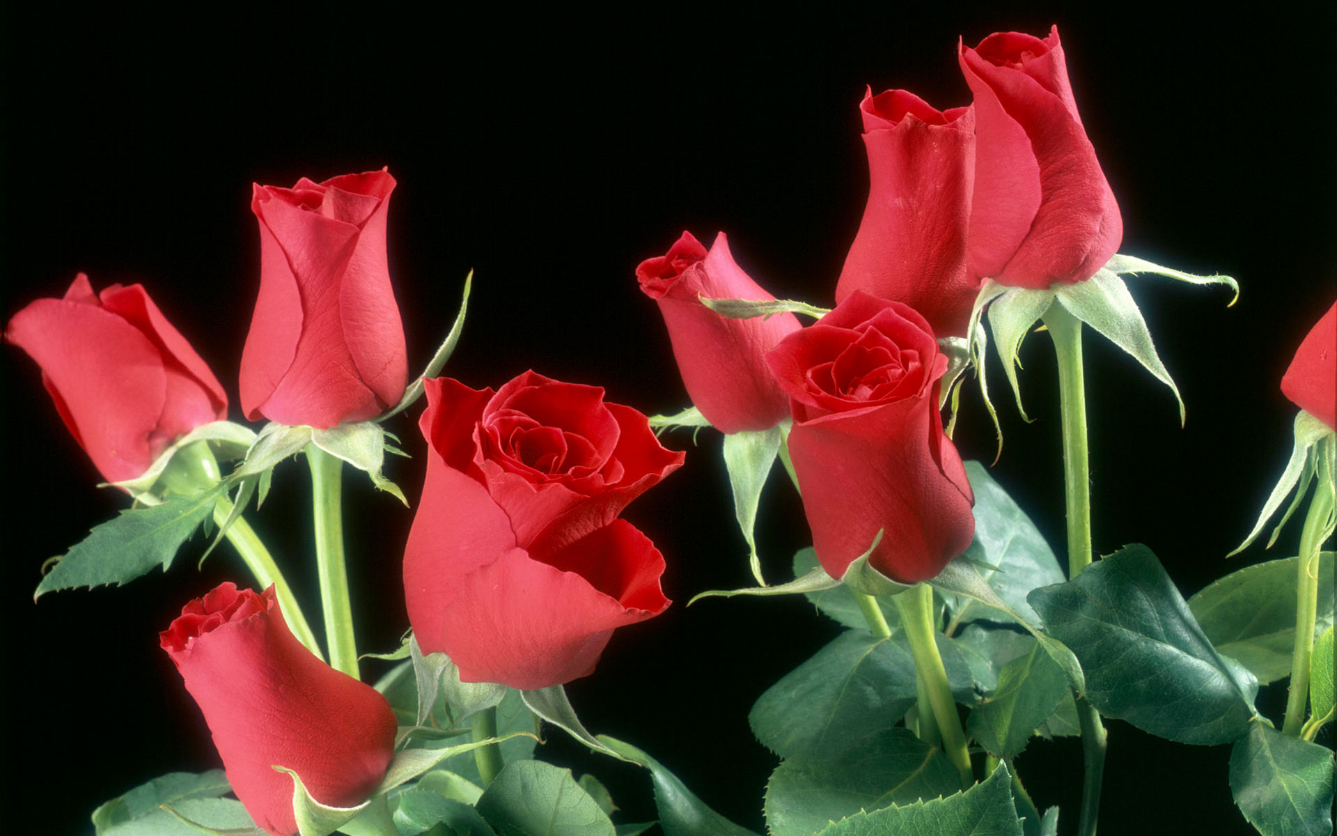 Red Roses Flowers 457.77 Kb