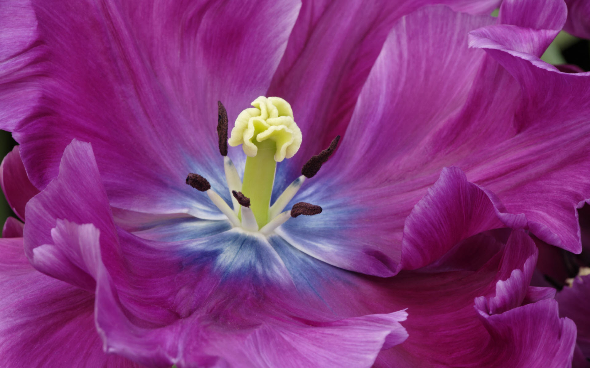 Close Up of a Purple Tulip
