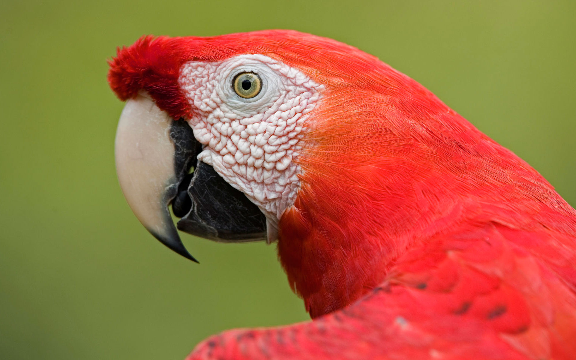 Scarlet Macaw Portrait Amazon