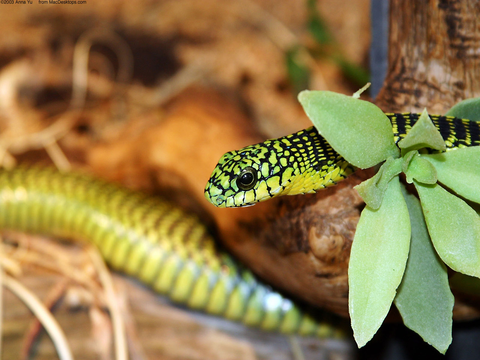 A Green Snake 2 582.72 Kb