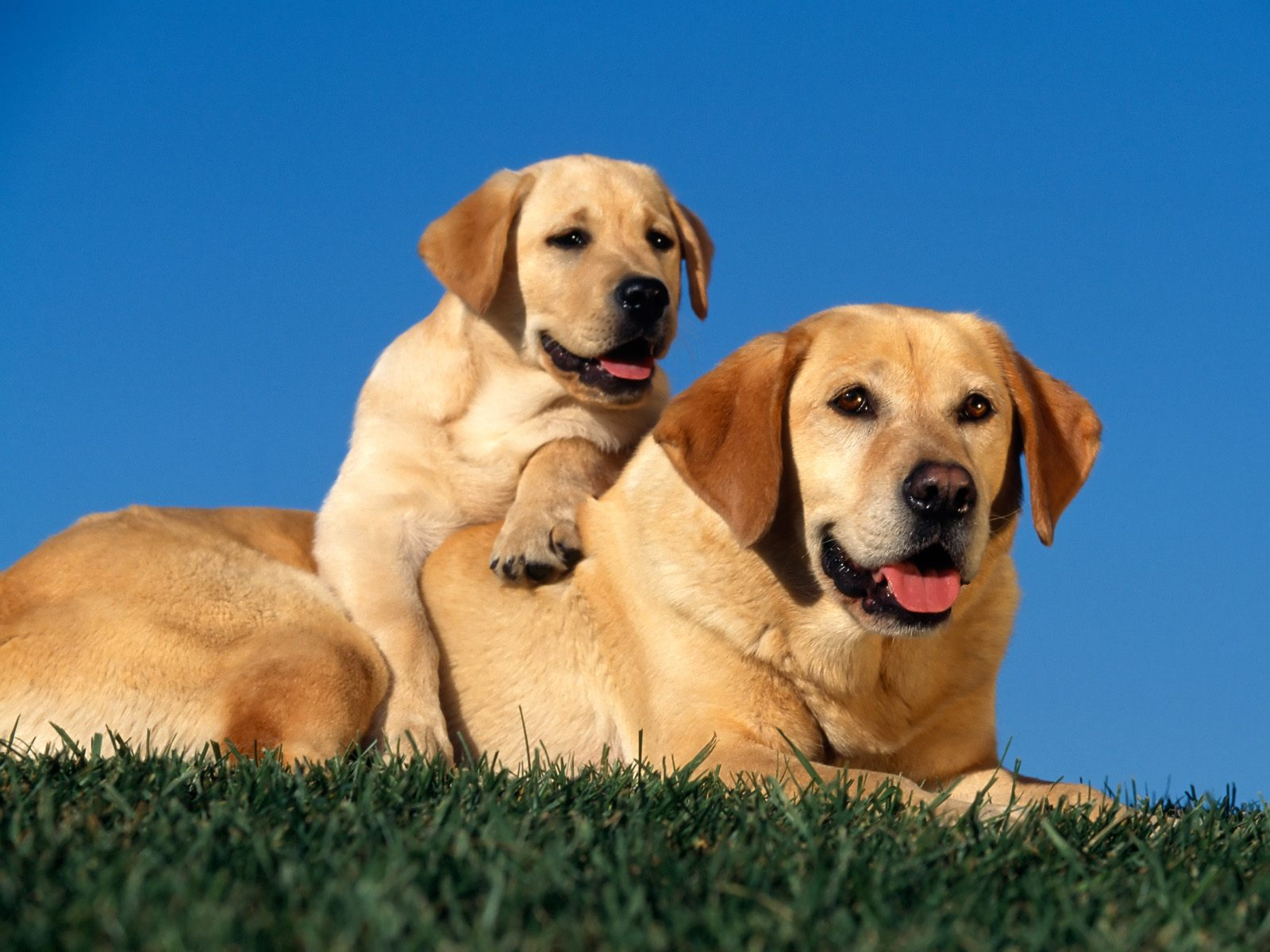 Yellow Labradors 248.43 Kb