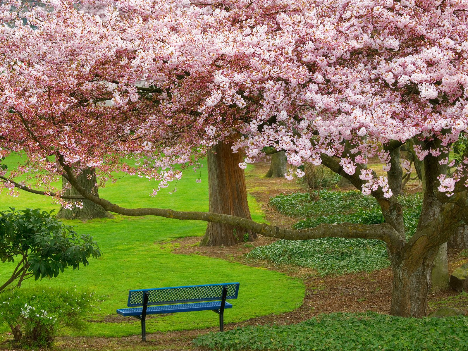 Cherry Tree Evergreen Park Washington
