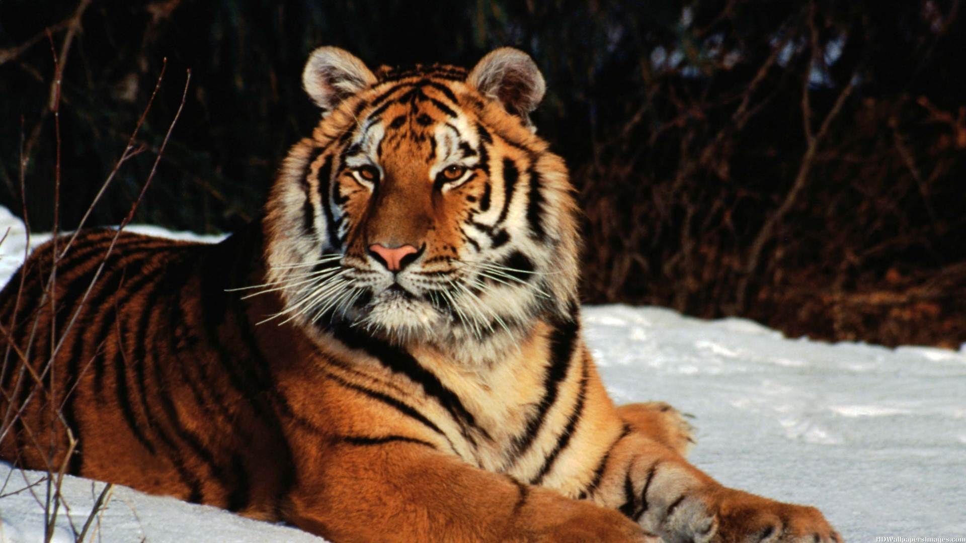 Images of a Tiger on Snow