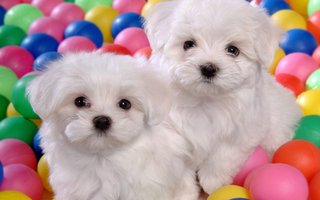 Pictures Of Puppies in Colorful Balls 156.34 Kb