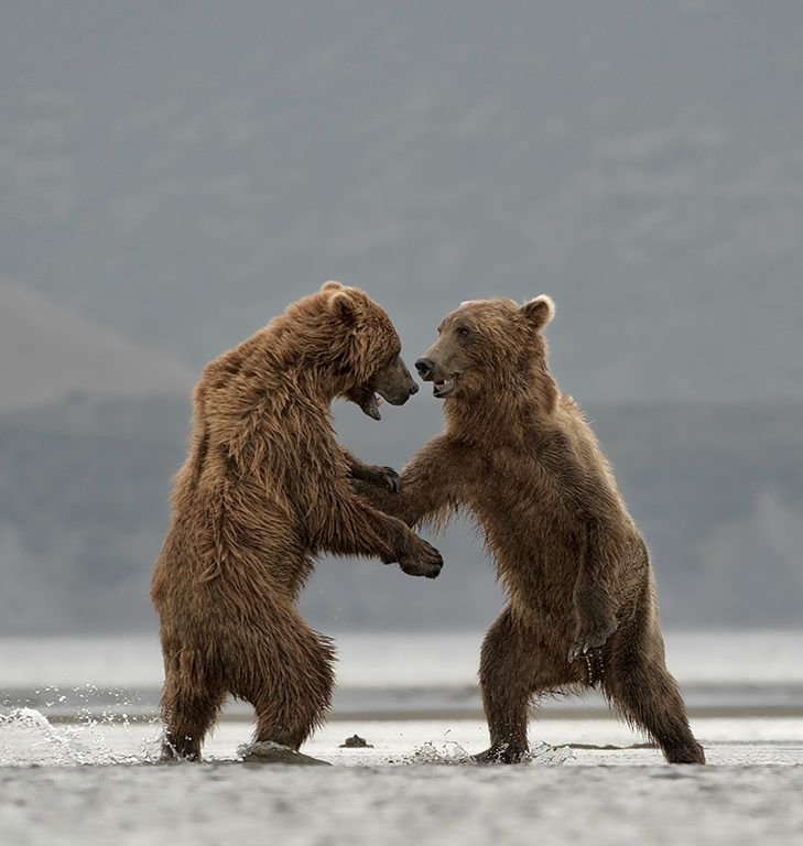 Pictures of Fighting Bears  532.63 Kb