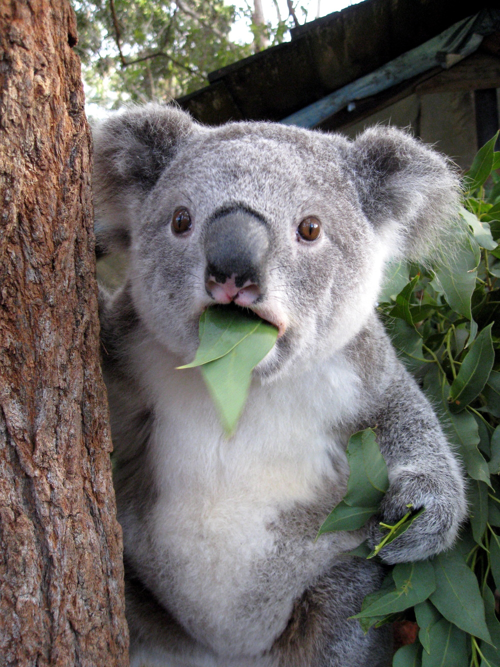 Koala Eating Eucalyptus Leaves 761.63 Kb