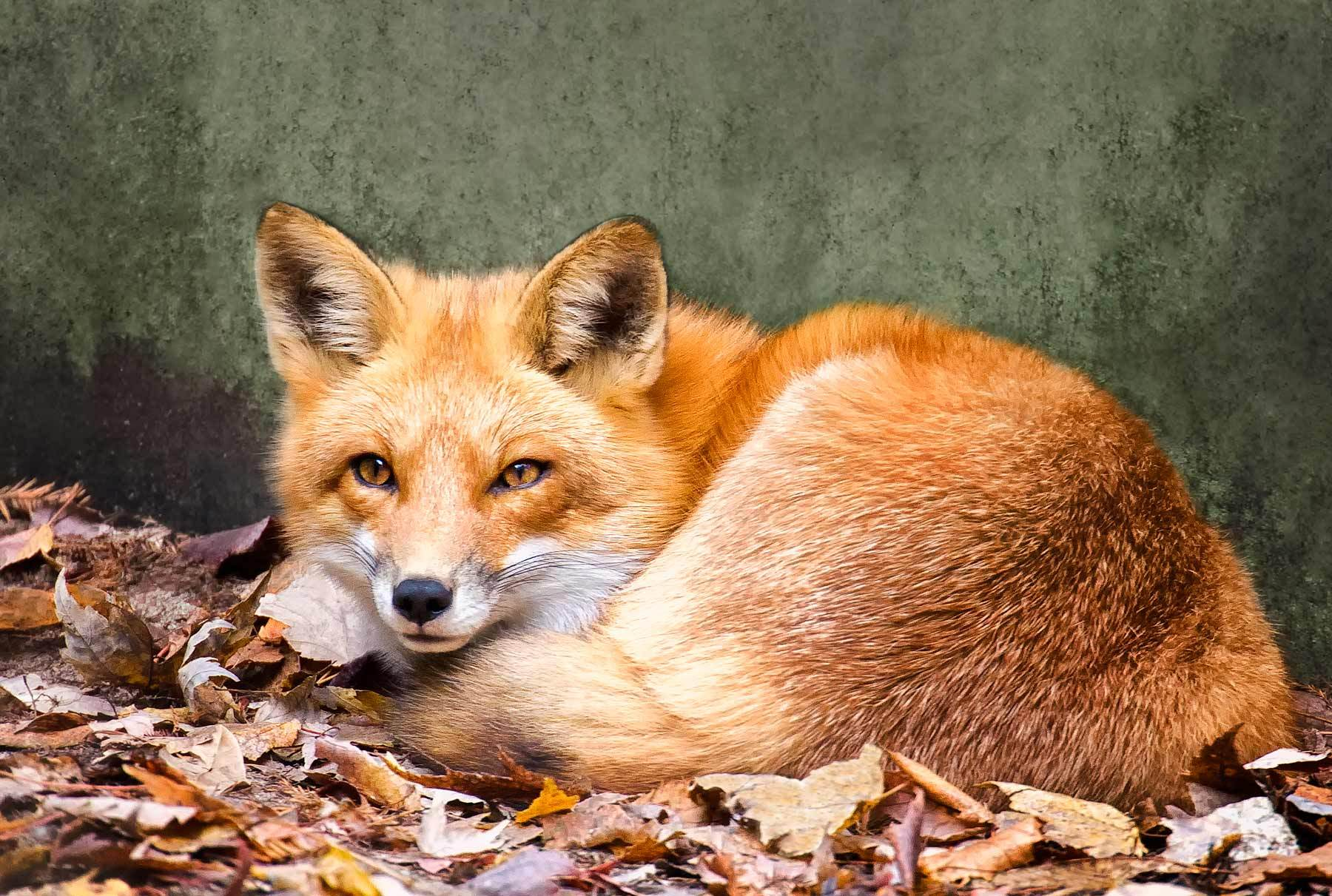 Fox Curled on the Leaves