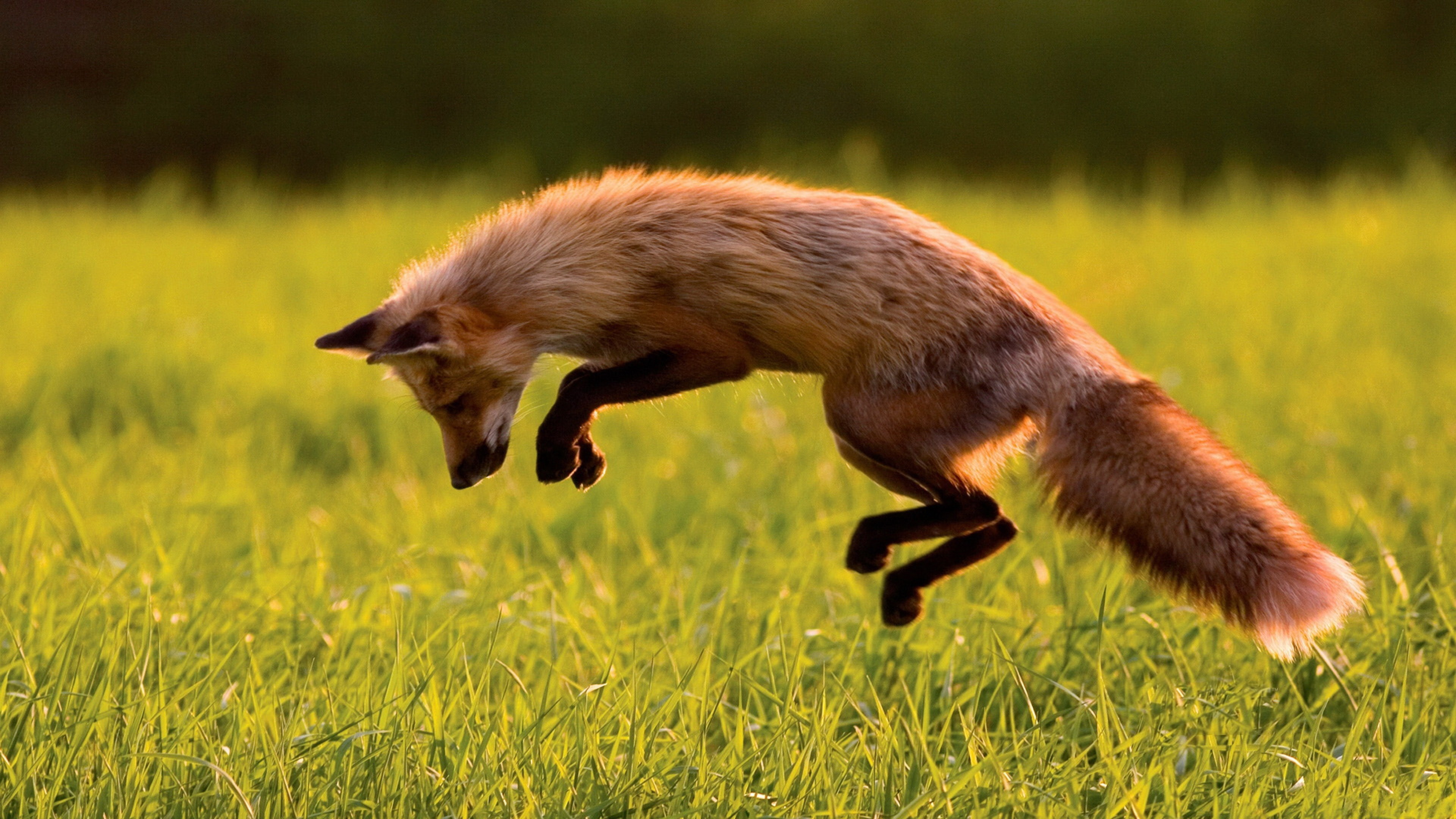 Fox Jumping for the Prey