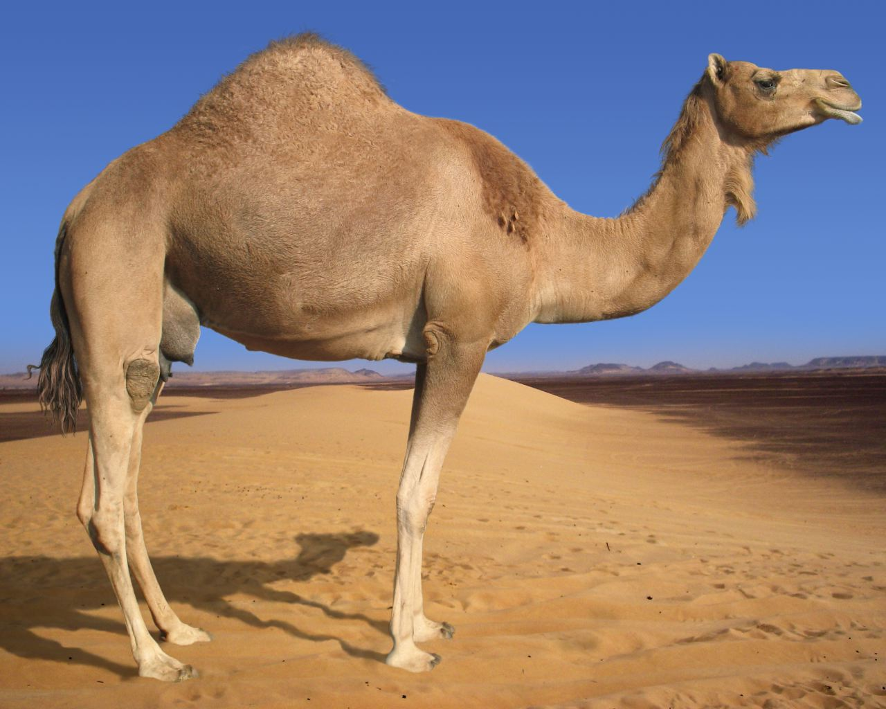 Camel Even-Toed Ungulate