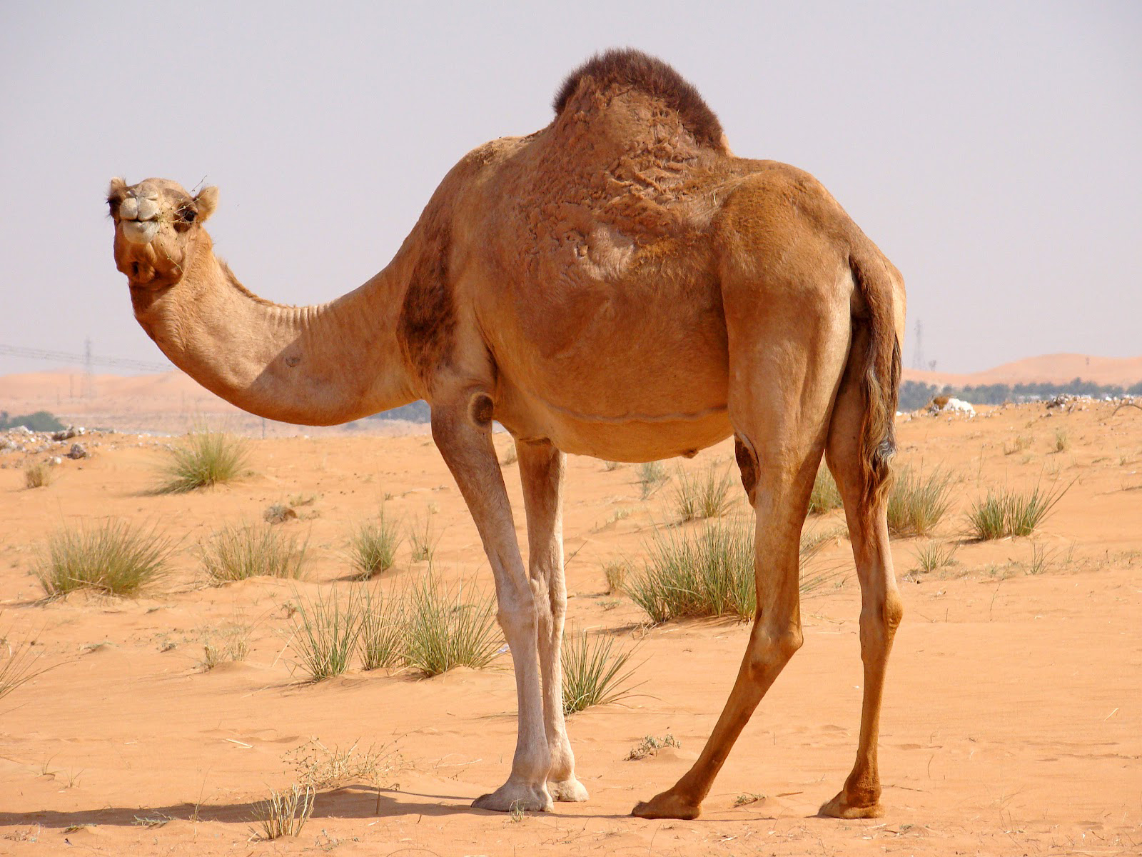 Camel with Hump on its Back