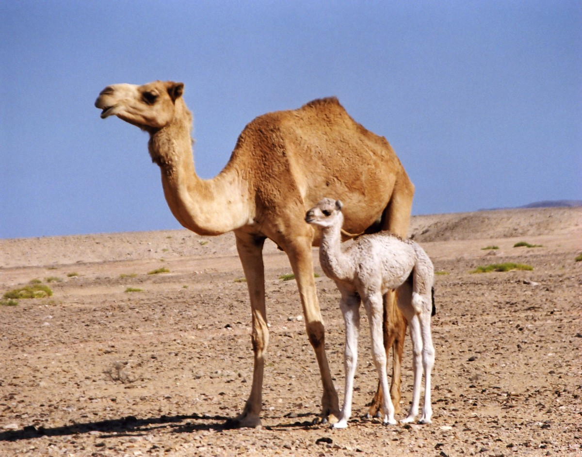 Camel with a Small Baby Cub