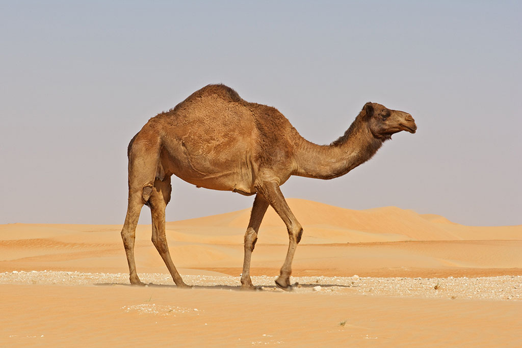 Old Camel in a Desert