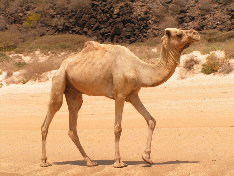 Camel Heaving a Walk