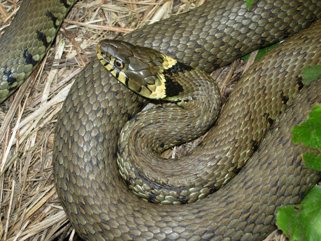 Water Grass-Snake 143.04 Kb