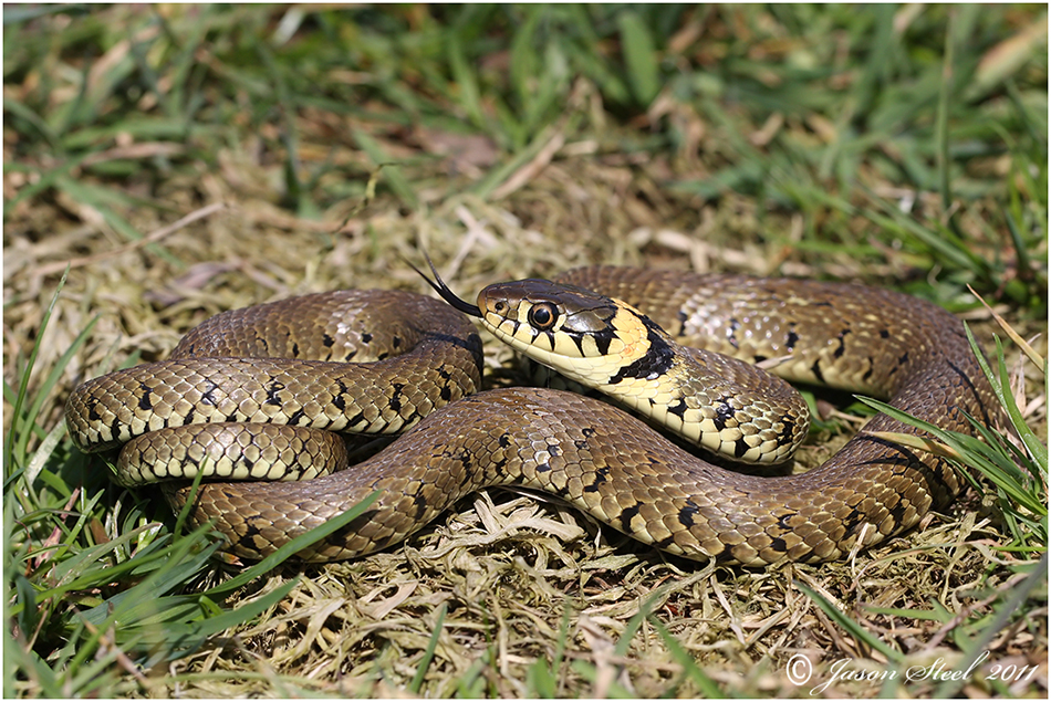 Grass-Snake Showing Tongue 143.04 Kb