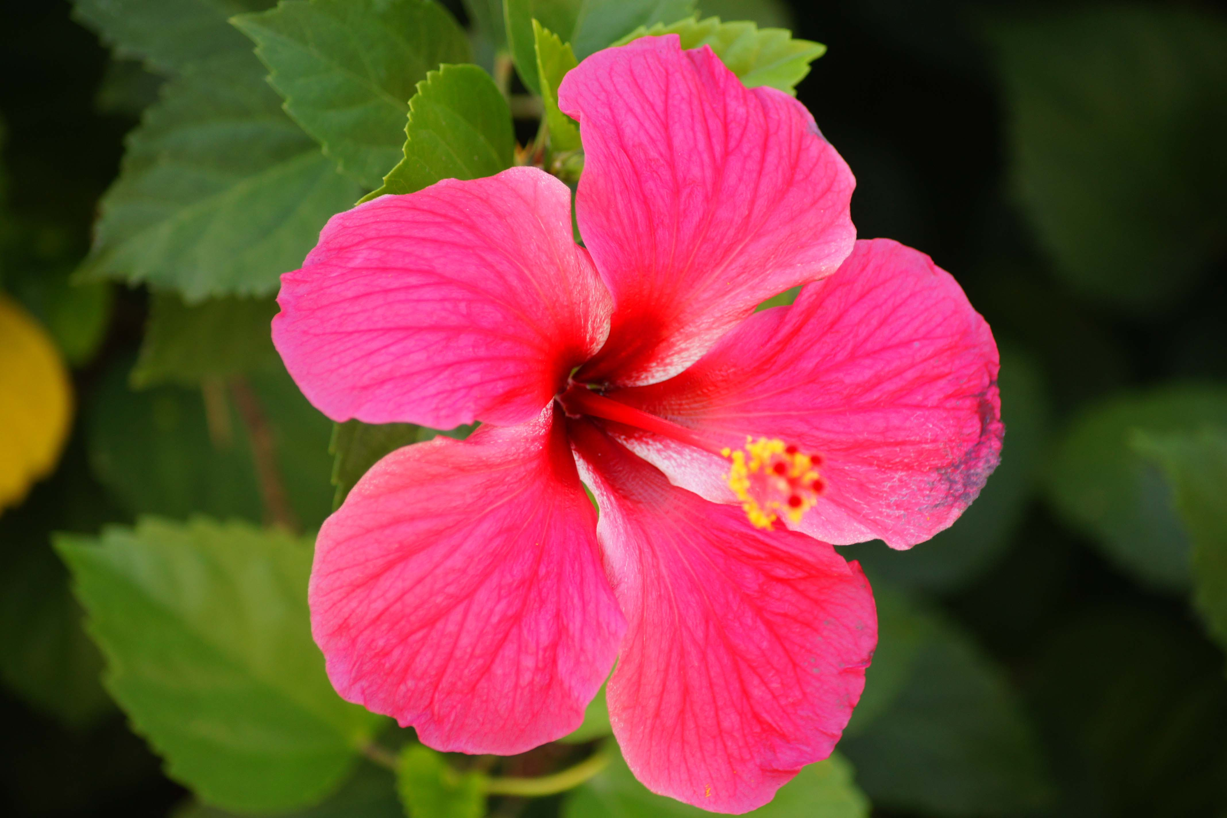Pink Hibiscus Flowers 4240124 4272x2848 All For Desktop
