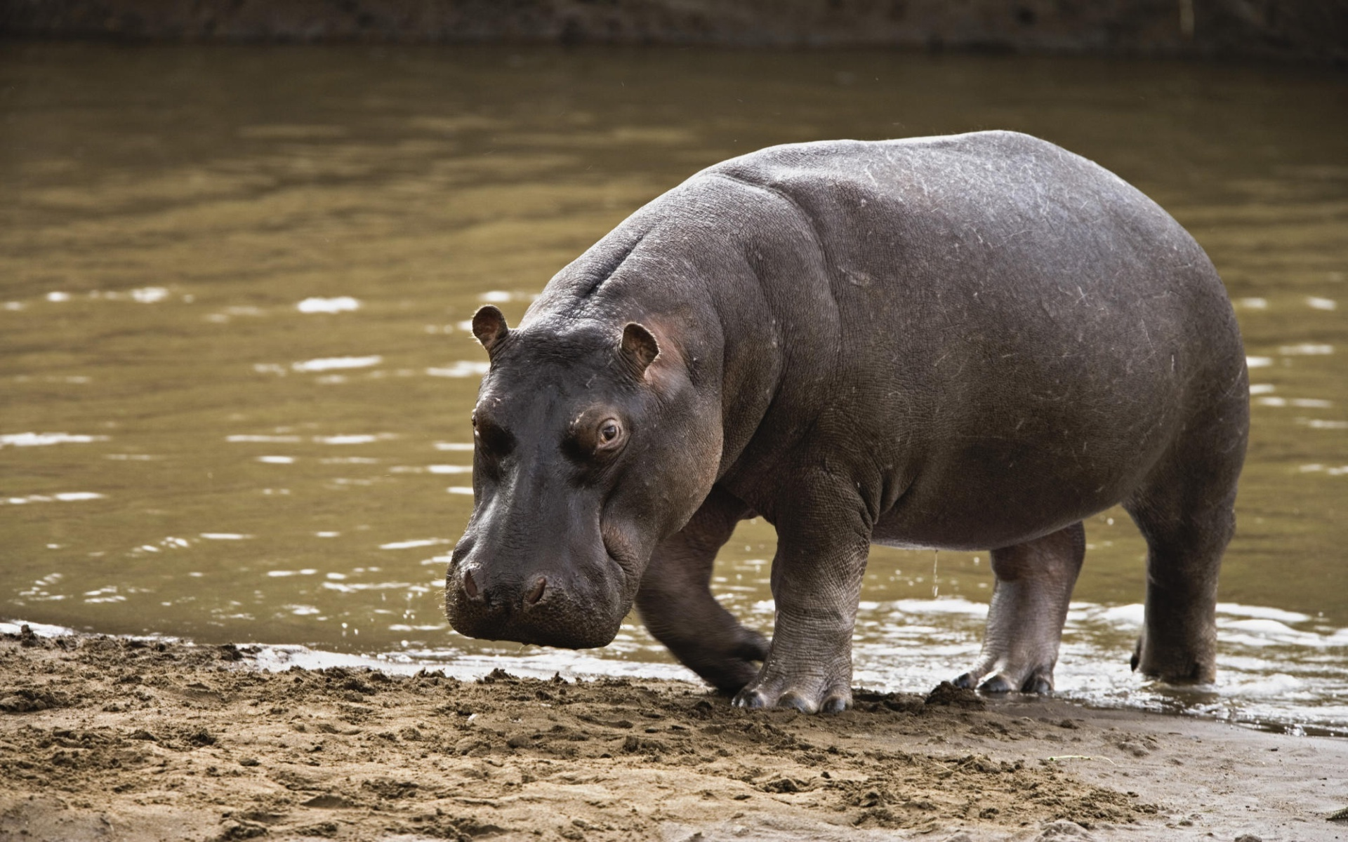 Hippopotamus After a Swim in the Water 775.79 Kb