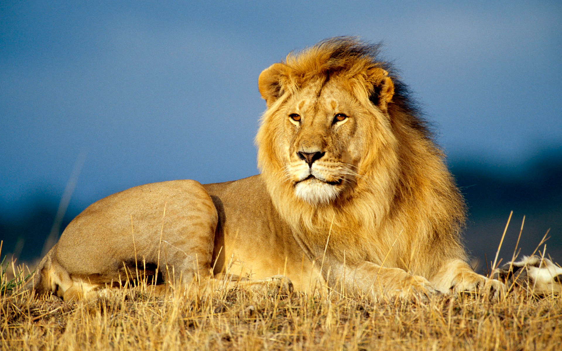 Big Lion Lying in the Grass