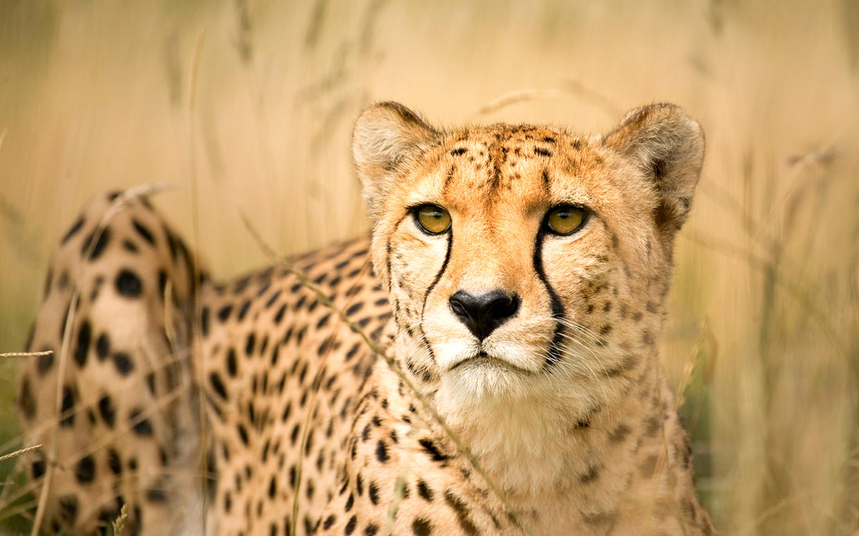 Beautiful Cheetah in the Wild