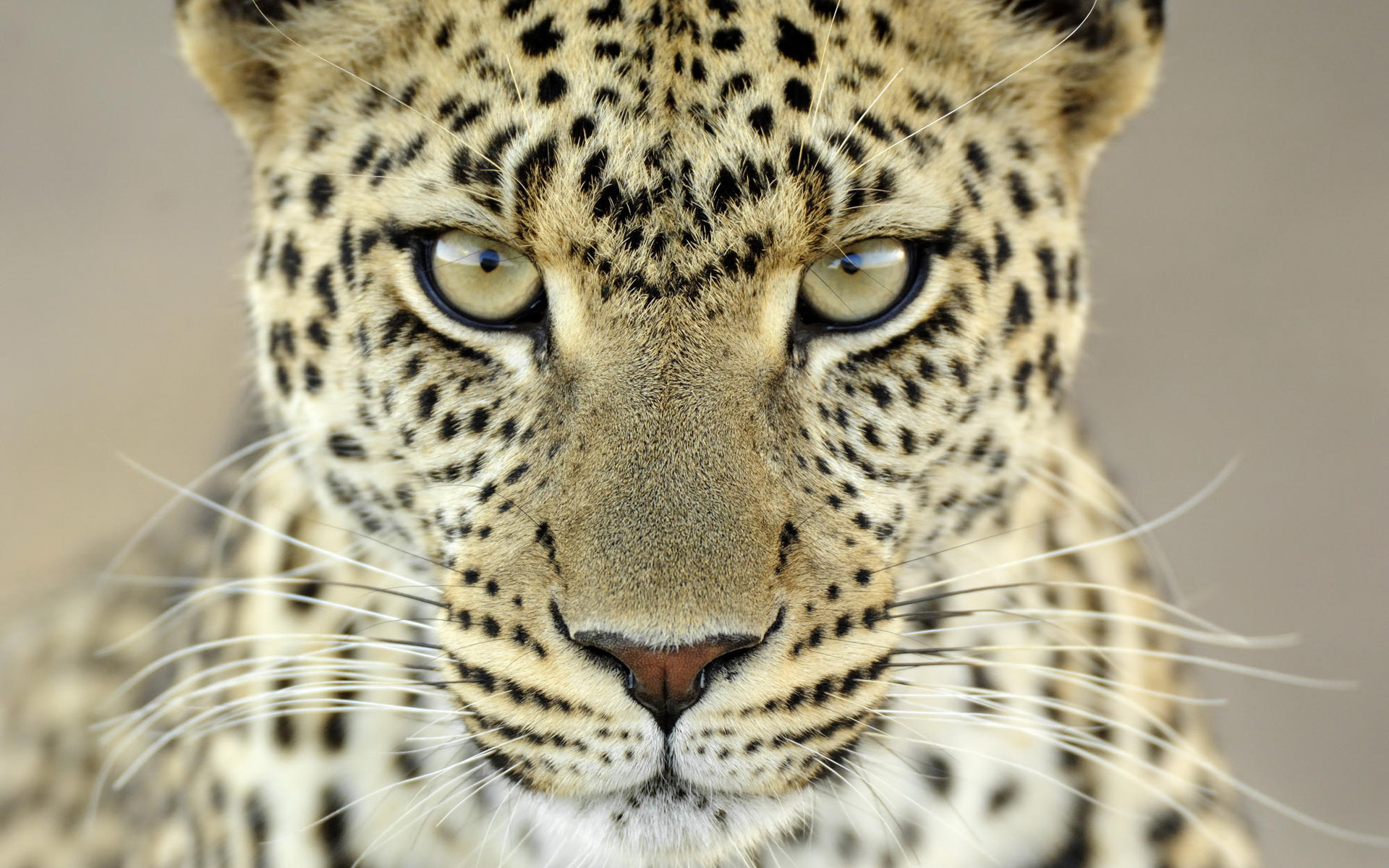 Cheetah Close Look