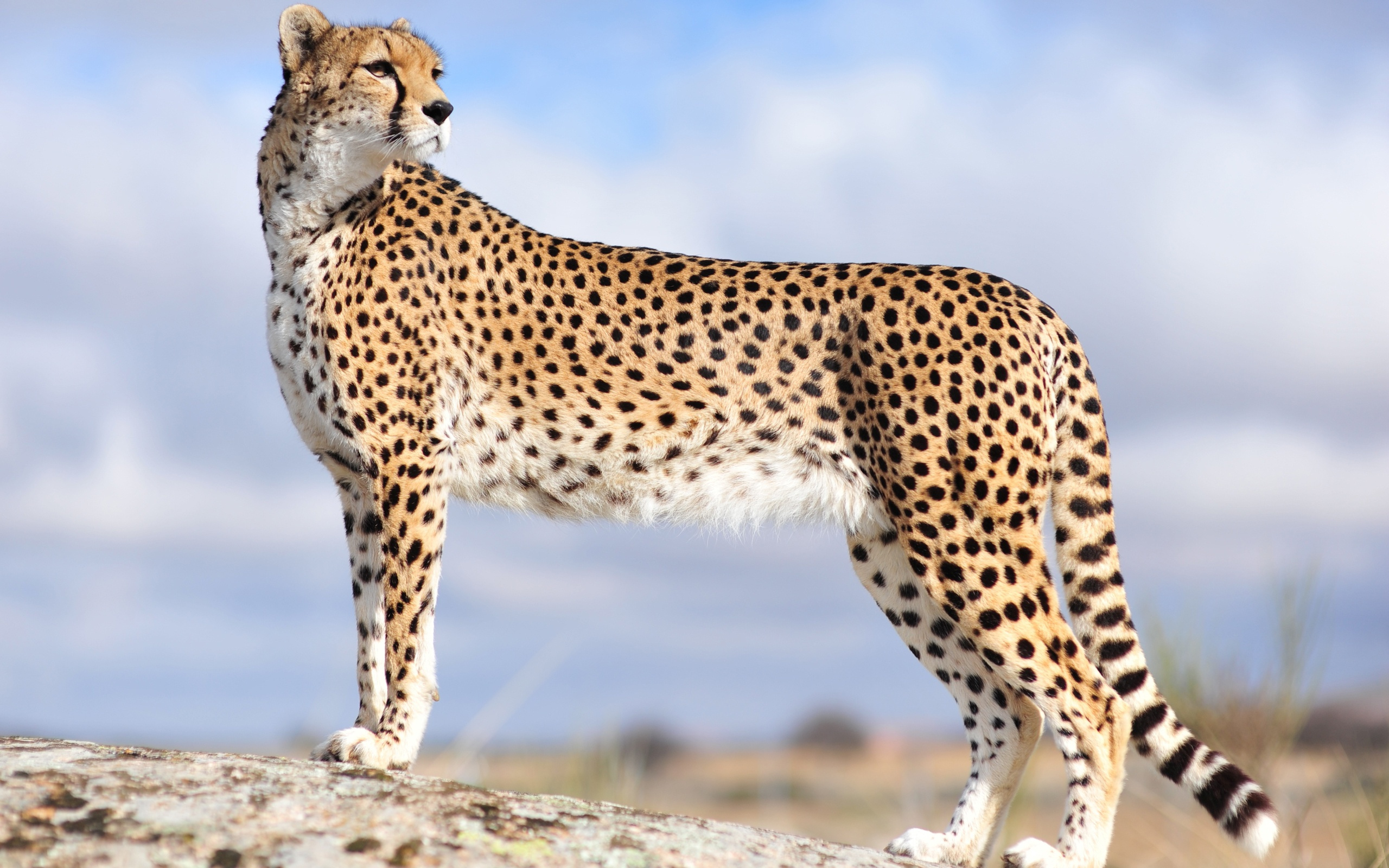 Brave Cheetah on a Hill