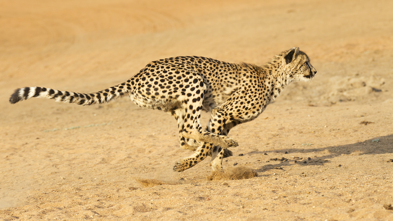 Cheetah Ready to Attack