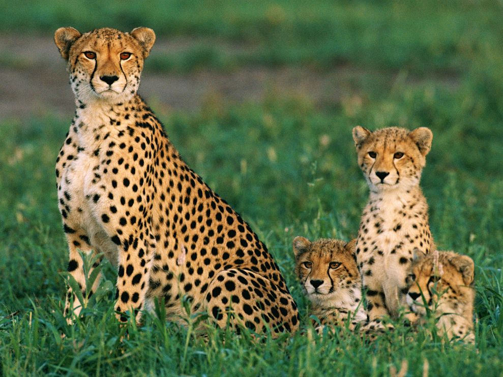 Cheetah Cute Family