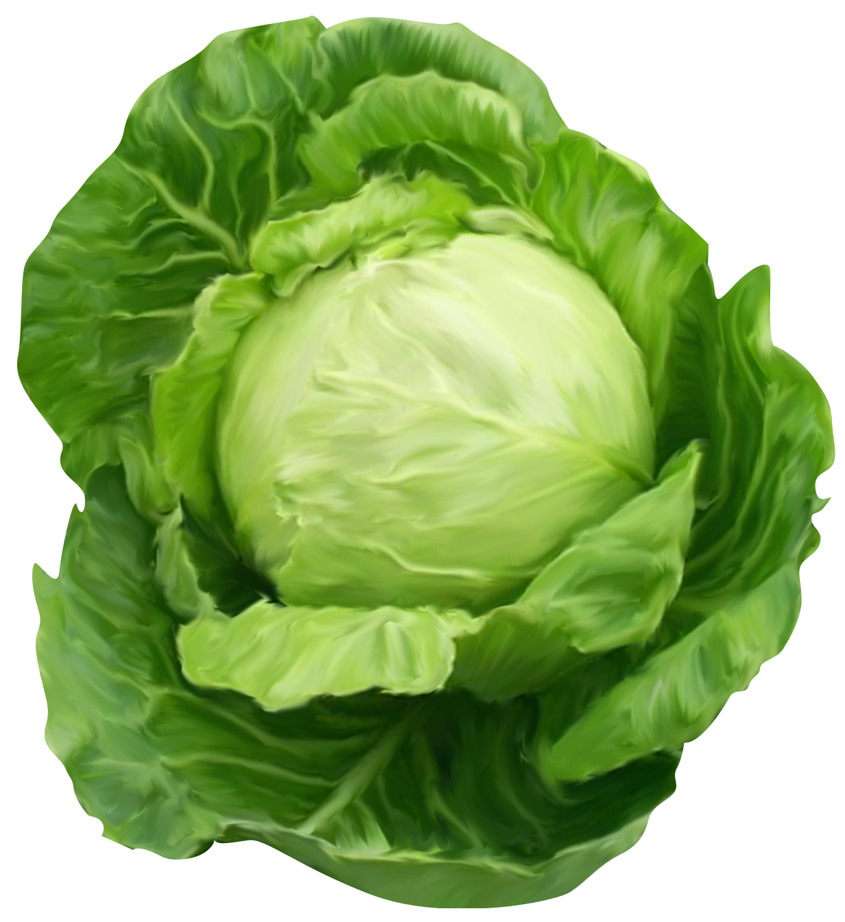Beautifully Drawn Cabbage 3155.36 Kb