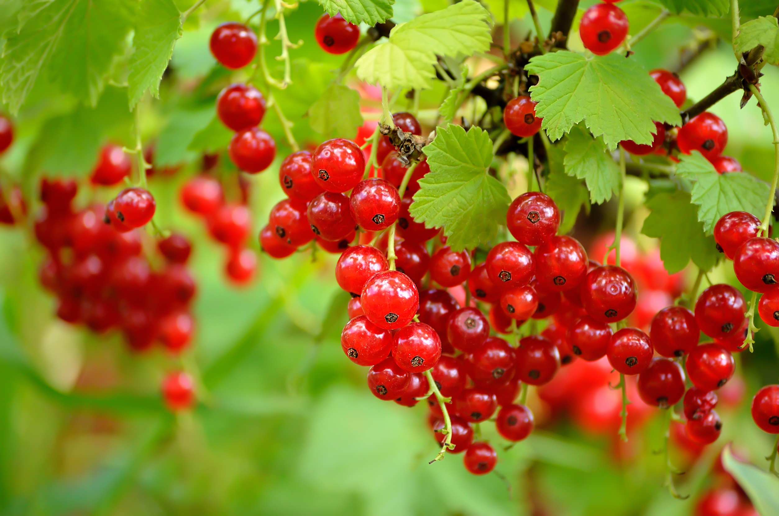 Red Currants on a Bush 1774.72 Kb