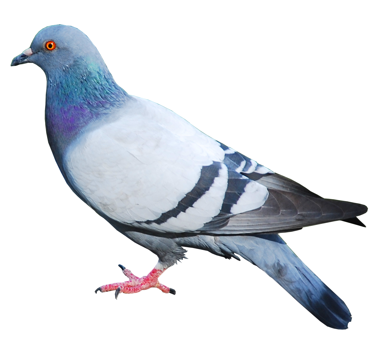 Simple Pigeons Image