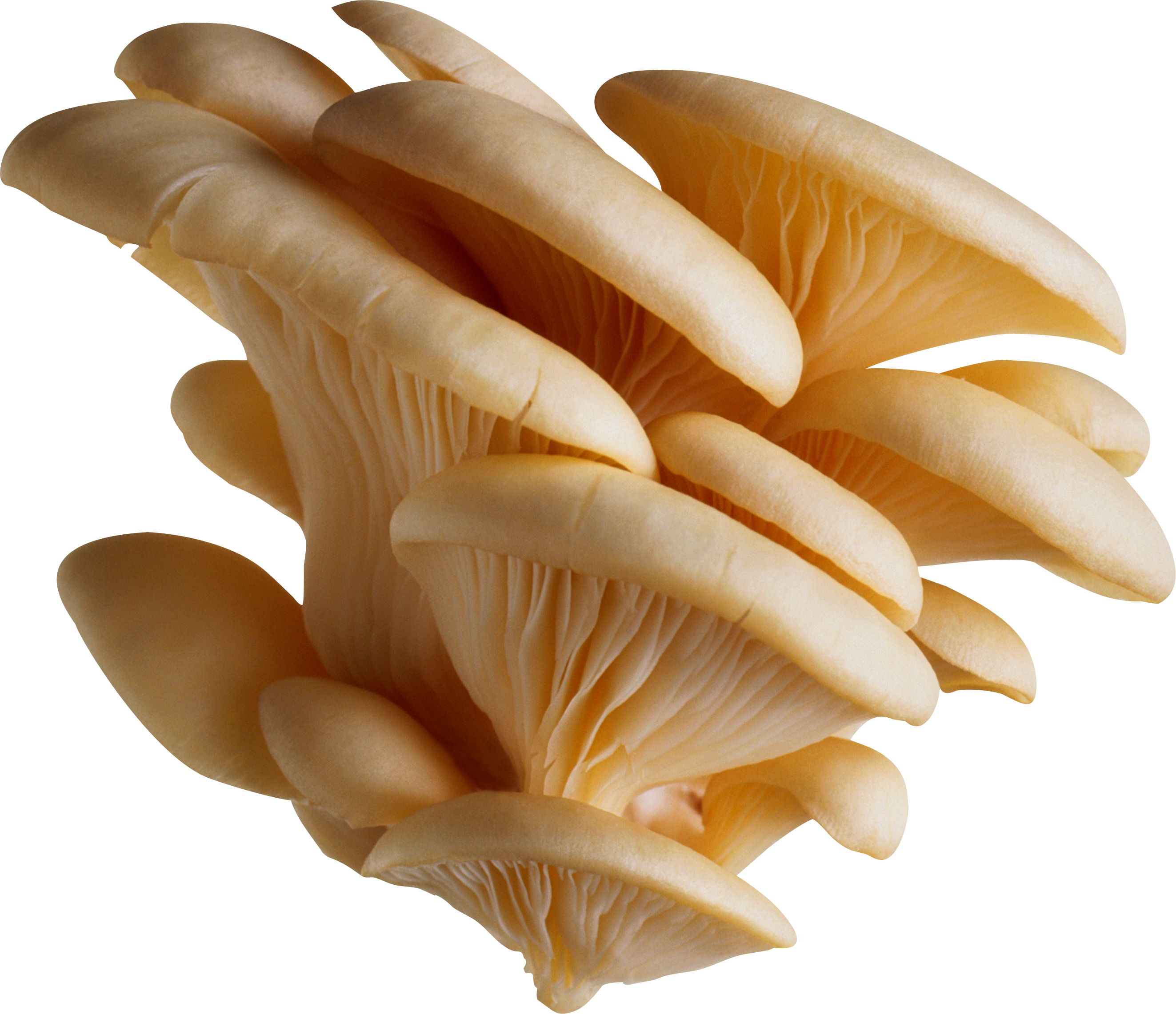 Edible Mushroom Ready for Cooking 1310.34 Kb