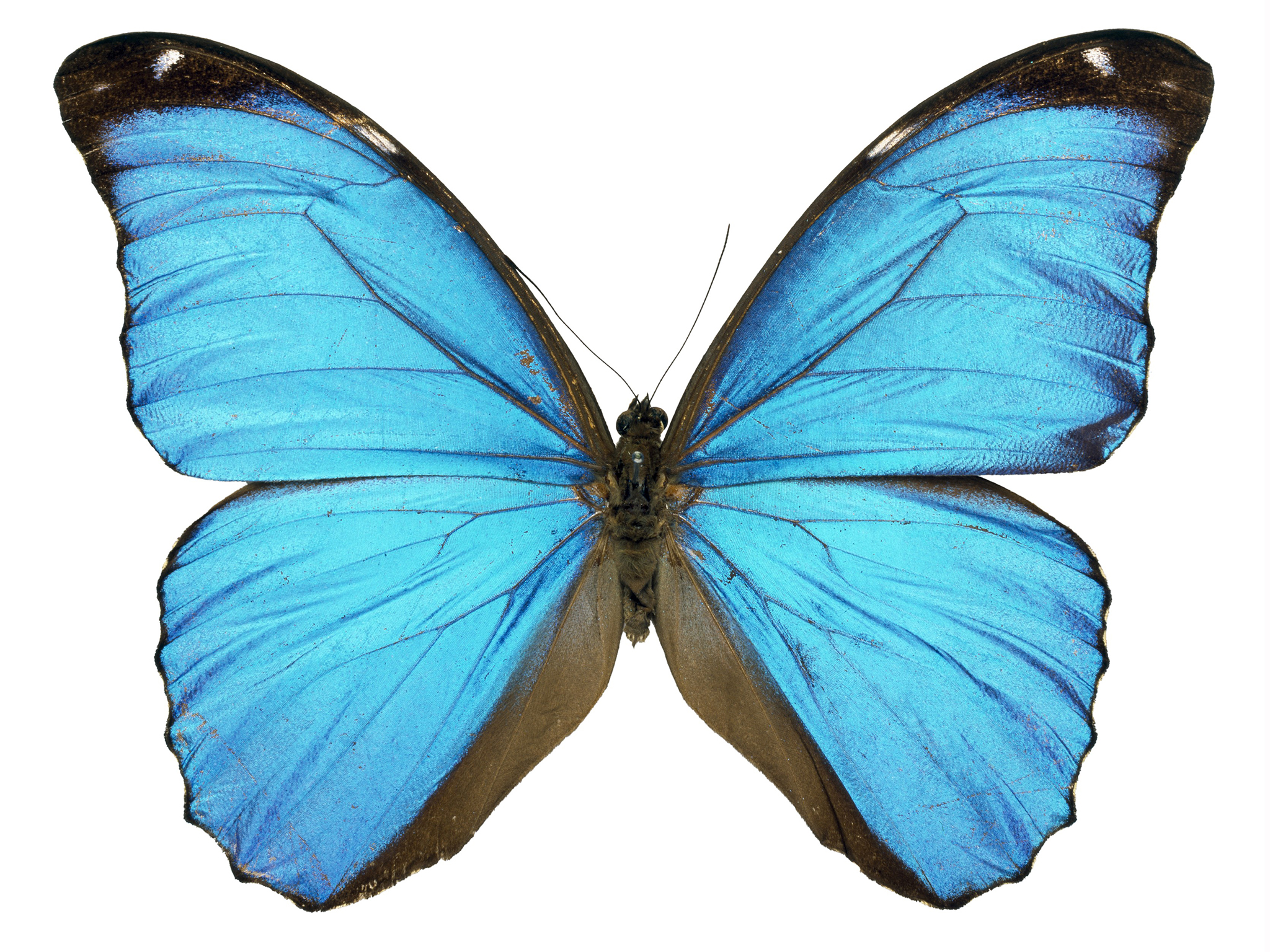 Blue Butterfly Picture 131.95 Kb