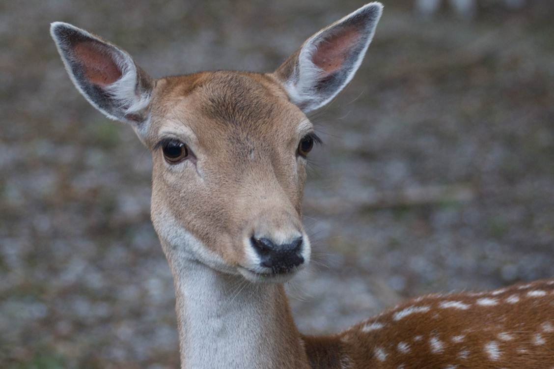Young Deer Head
