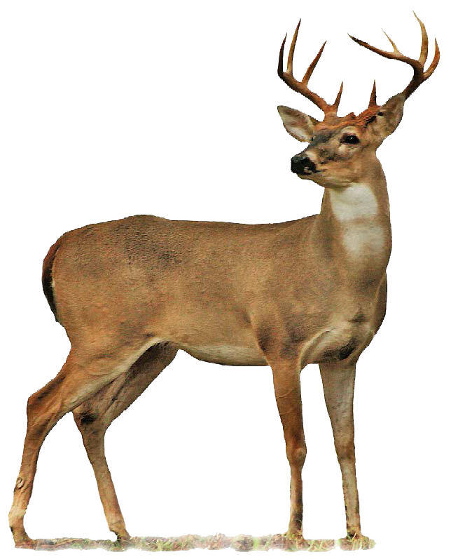 Plain Deer Picture 71.19 Kb