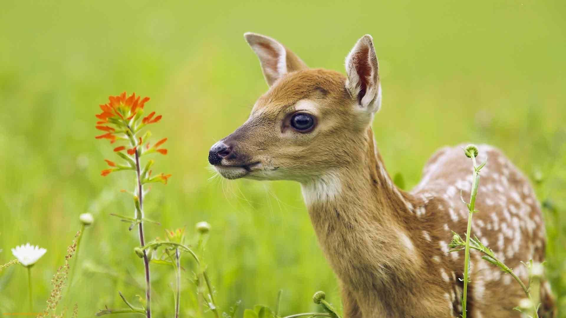 Bambi Deer and a Flower 71.19 Kb