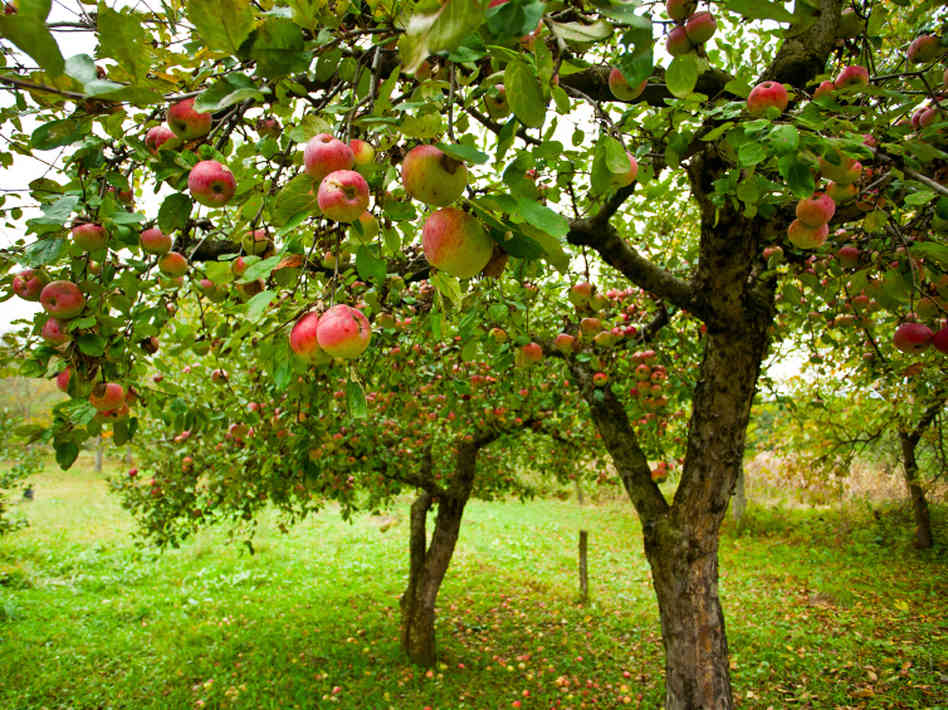 Apple-Tree Garden