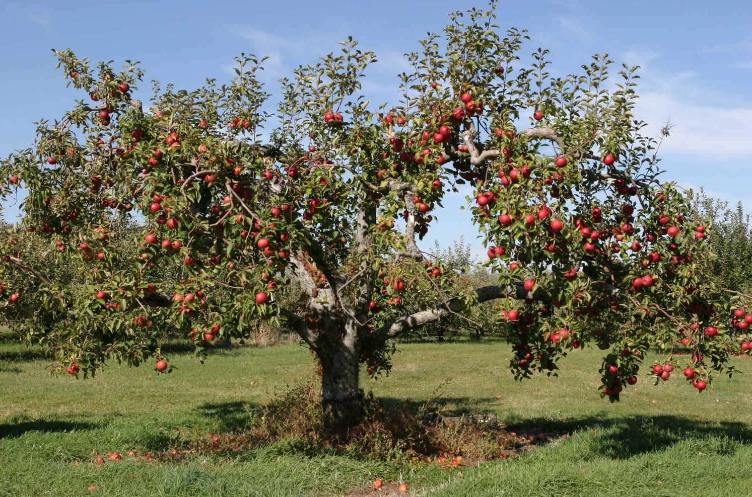 Apple-Tree in the Backyard 118.38 Kb