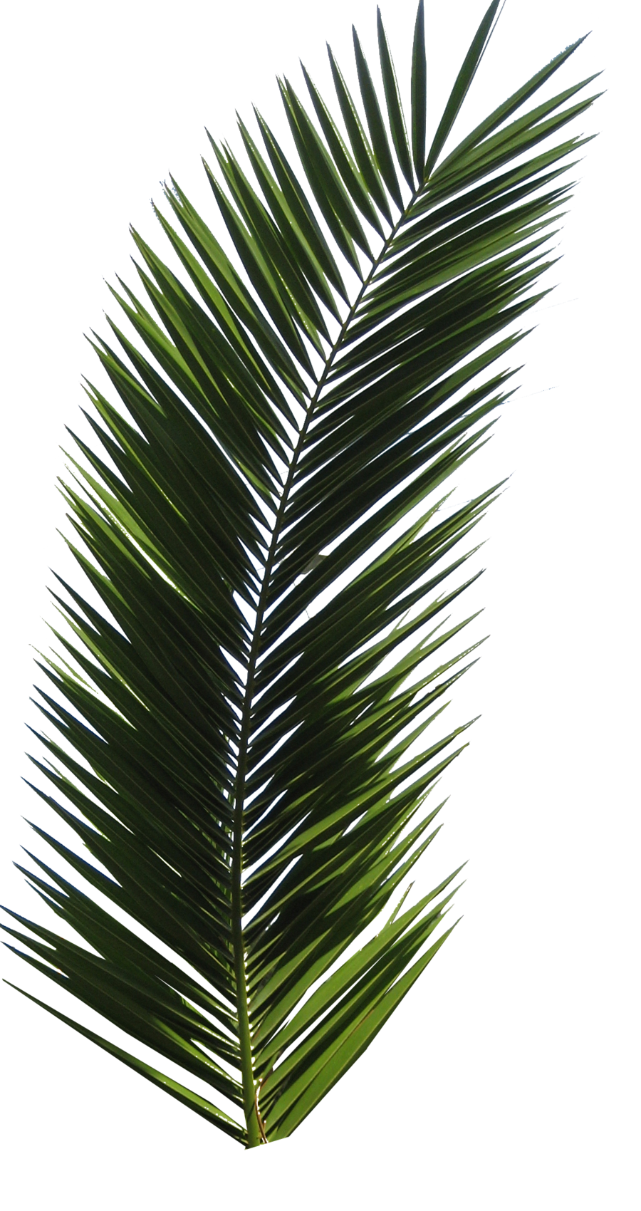Green Palm Tree Branch